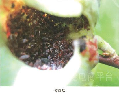 是枣树主要叶部害虫之一.